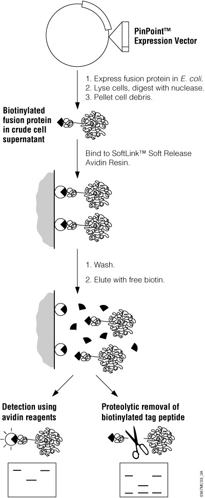 Schematic diagram of recombinant protein expression and purification using the PinPoint Xa Protein Purification System.