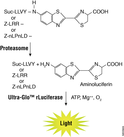The luminogenic substrates containing the Suc-LLVY, Z-LRR or Z-nLPnLD sequence are recognized by the 20S proteasome.