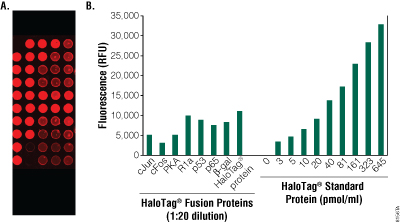 Detecting capture of HaloTag bait fusion proteins on HaloLink Slides.