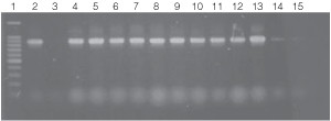 PCR amplifications of bacterial genomic DNA from various soil bacteria using the automated Biomek 2000 protocol.