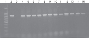 PCR amplifications of genomic DNA from various soil bacteria using the BiomeK 2000 protocol.